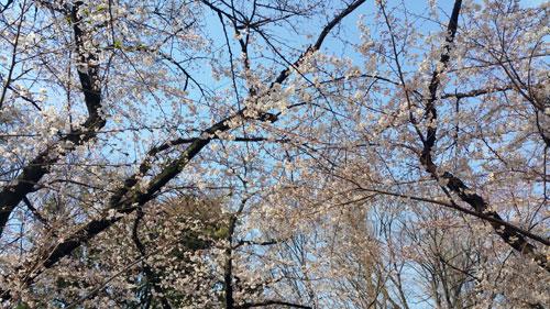 yasukuni_sakura01