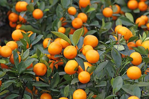 photo credit: Mandarine orange tree for celebrating Chinese New Year via photopin (license)