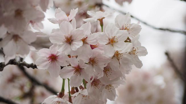 桜を望遠レンズで撮影